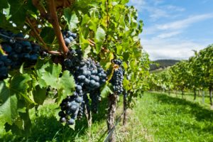 Mexican Migrant Workers went from Working in the Fields to Owning their own Wineries